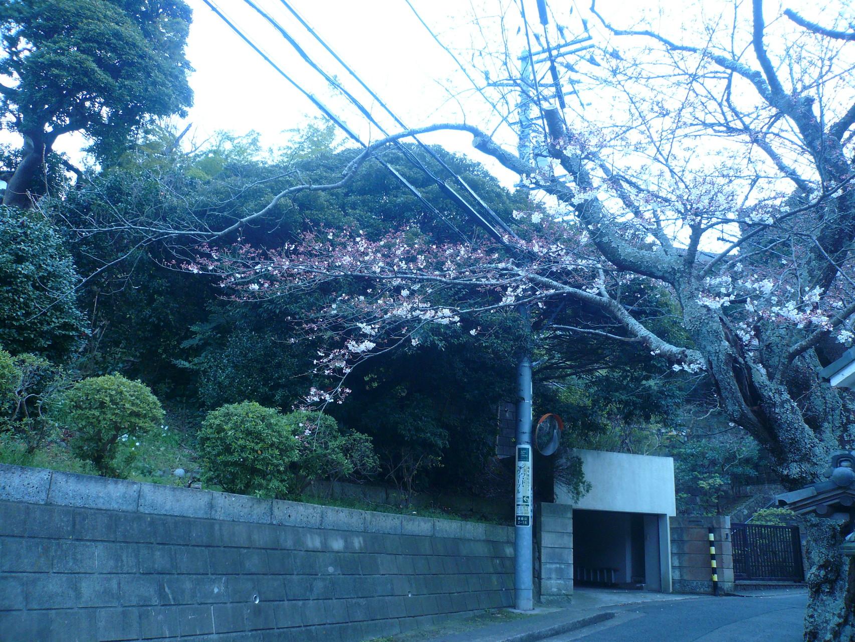 鎌倉山の櫻3分咲き