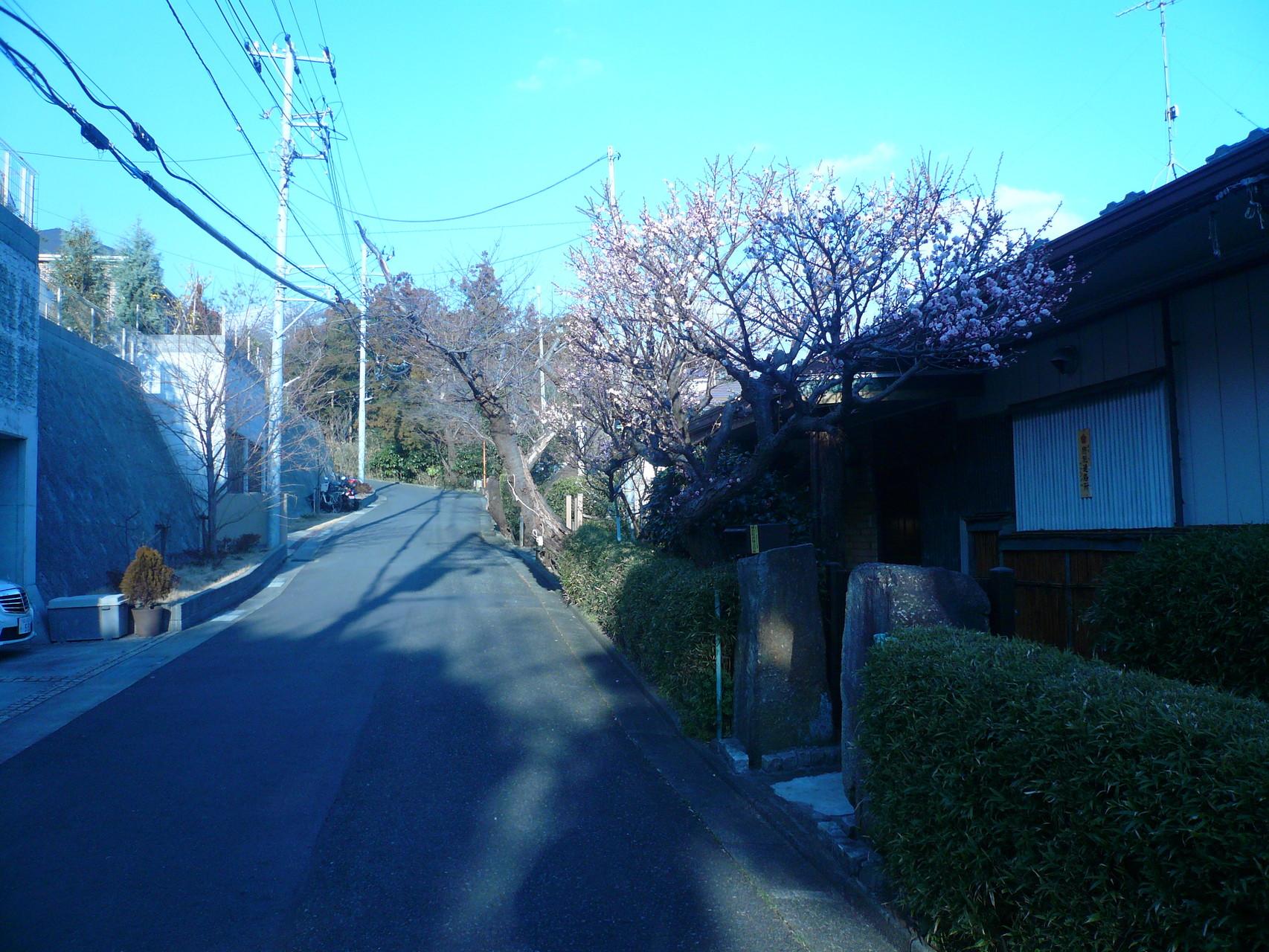 鎌倉山の裏通り桜道
