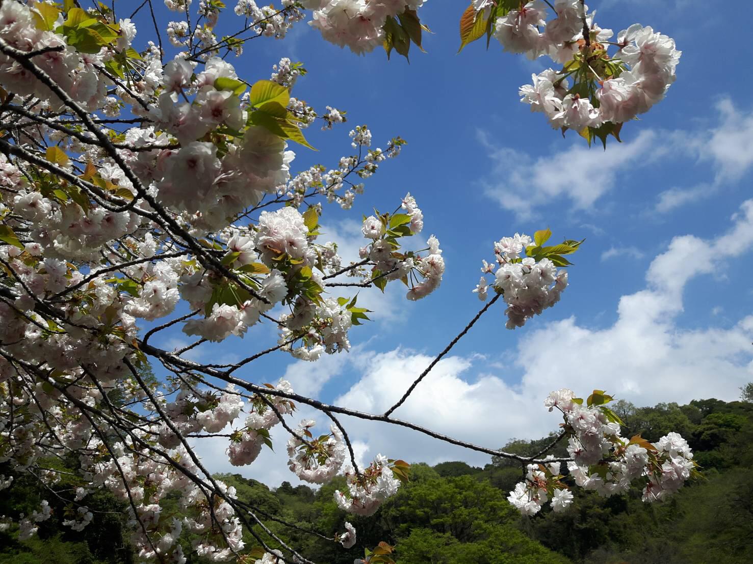ちょっと遅い桜も楽しめる