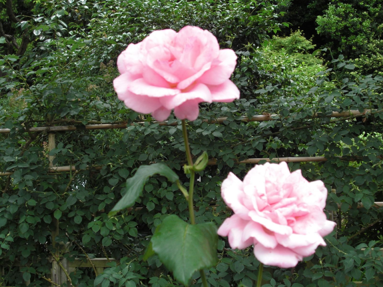 旧吉田邸のバラ