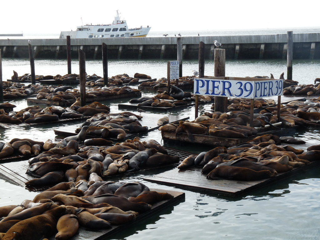 Seelöwenkolonnie am Pier 31