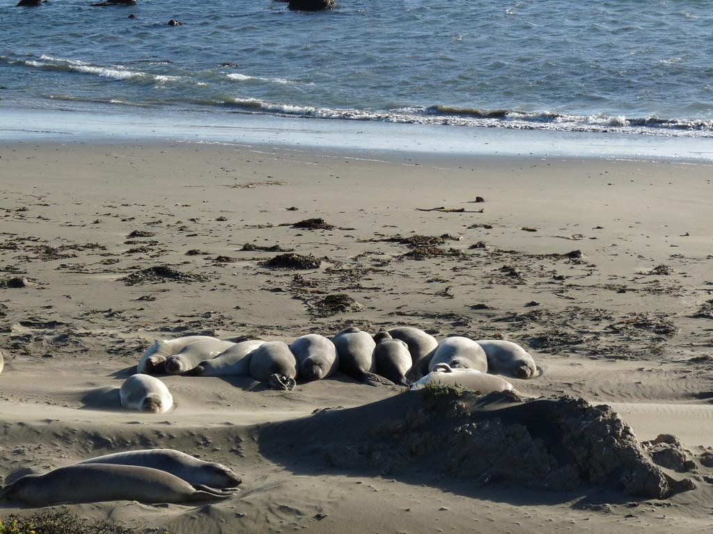 Seelöwen bei Big Sur