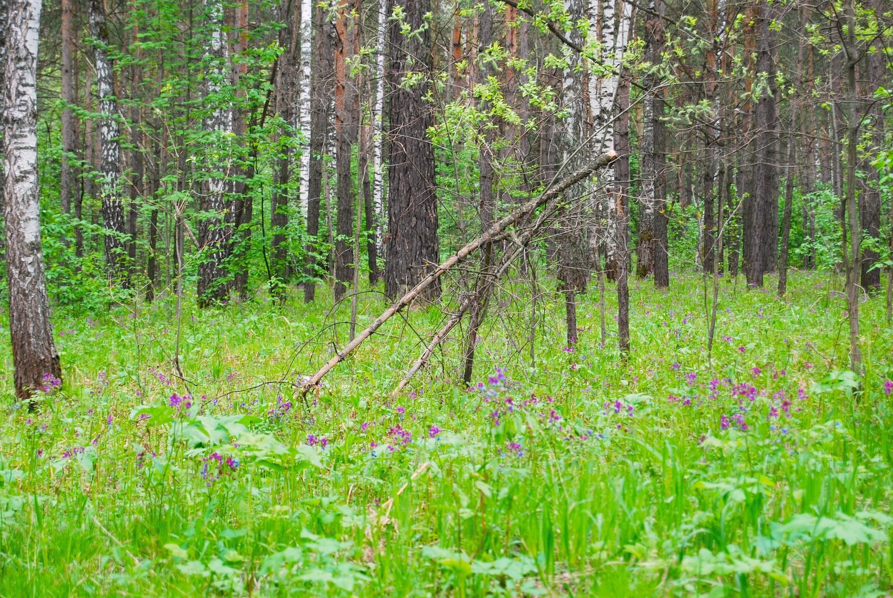 Birkenwald im botanischen Garten