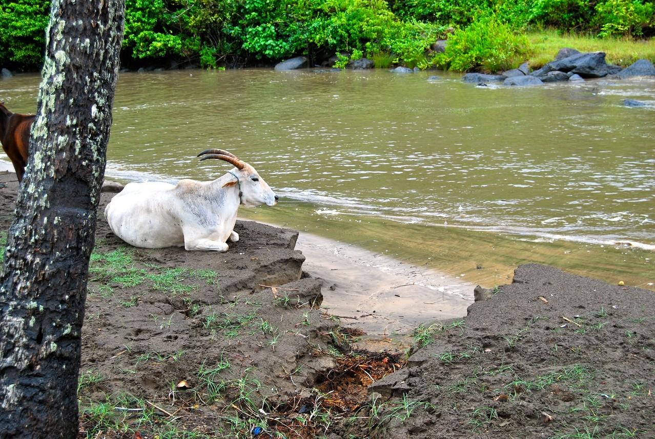 Kühe am Morgen vertreiben Kummer und Sorgen