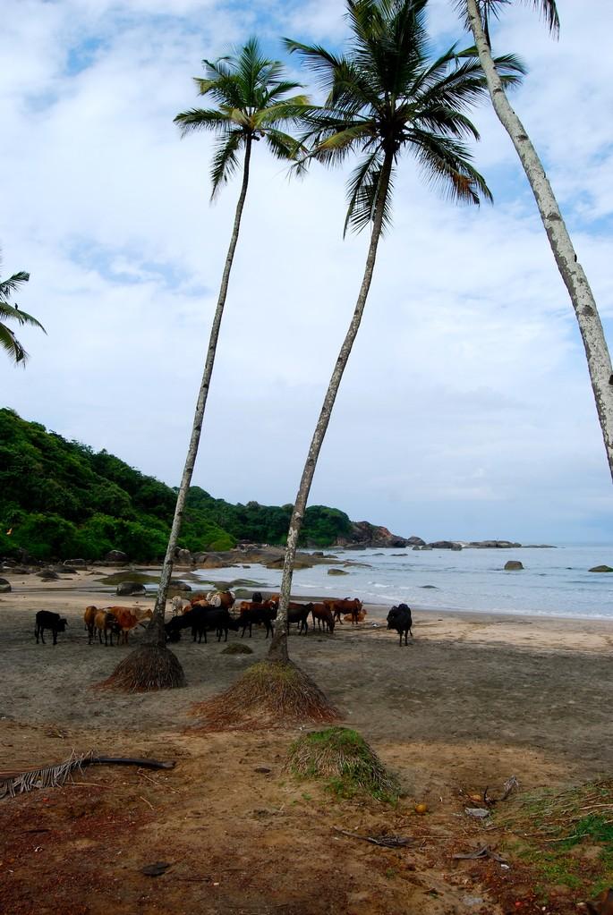 Kühe am Strand? Welcome to India!!