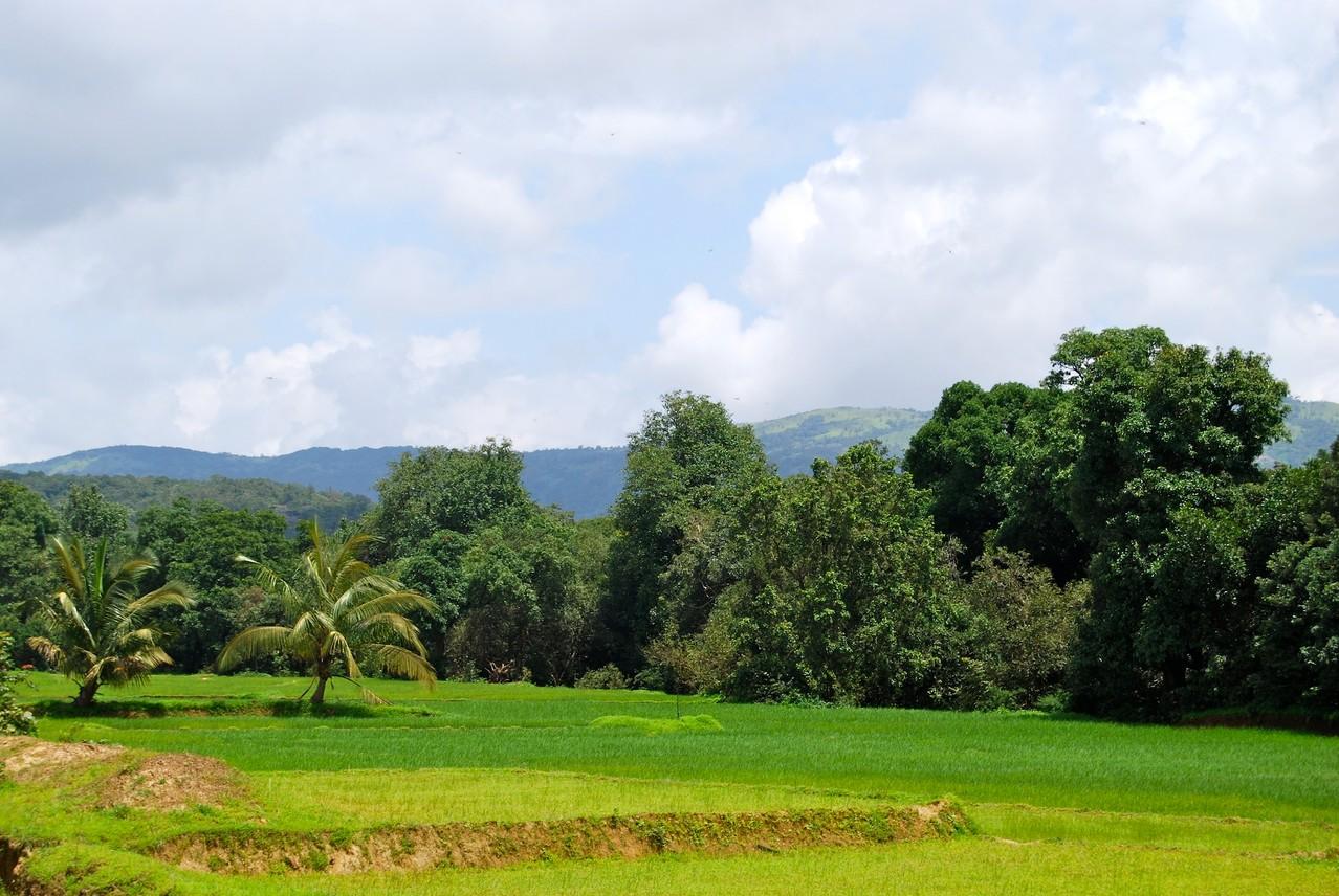Reisfelder im Dschungel
