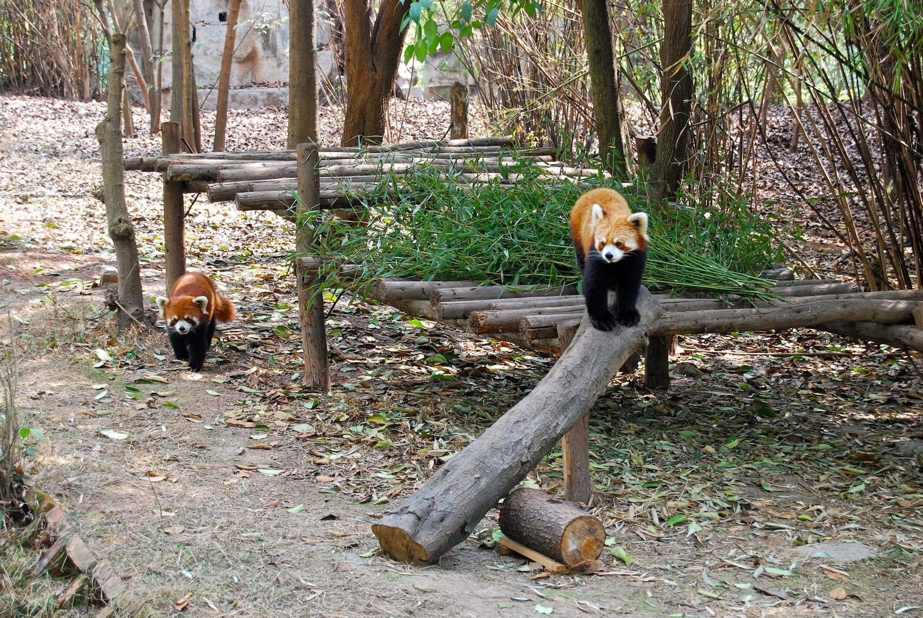 Braune Pandas