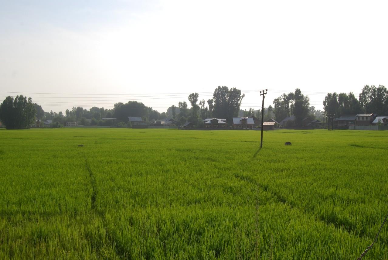 wunderschöne Reisfelder