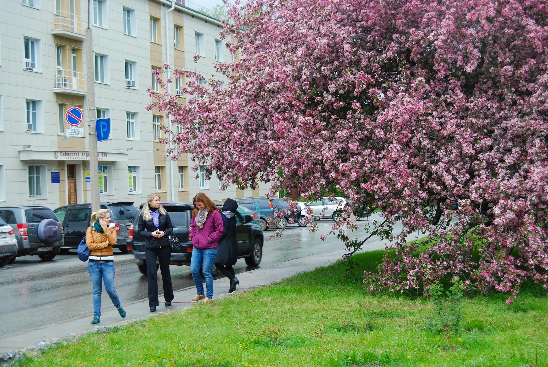 Kirschblüte in Russland