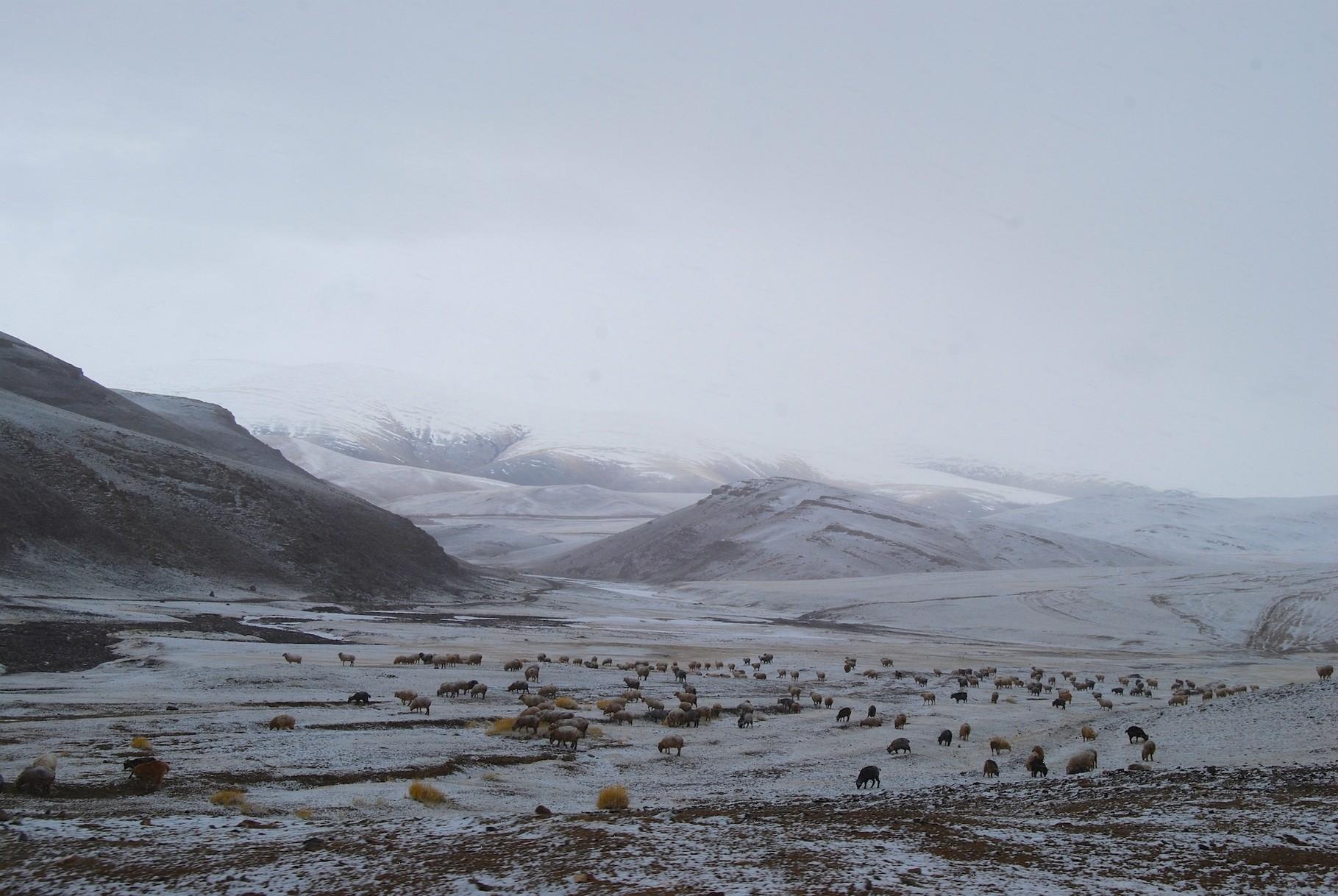 Schafe im Schneesturm