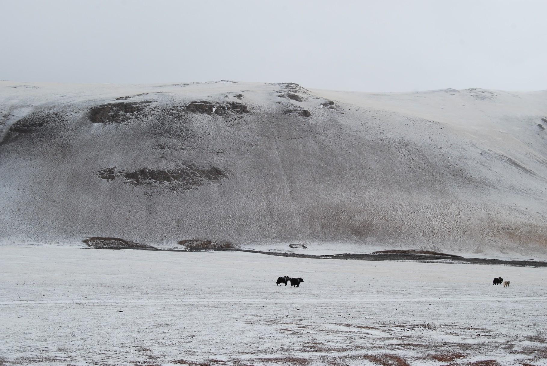 Yaks im Schneesturm