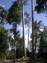 アガチスの大木