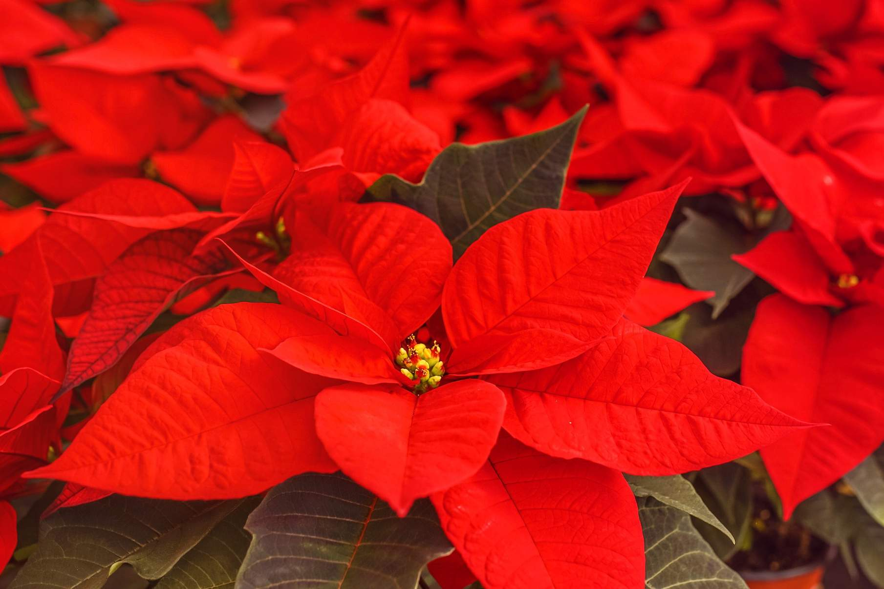 At the University of Pécs in Hungary, the effect of KE-plant on Poinsettias was investigated in comparison to a standard fertilizer