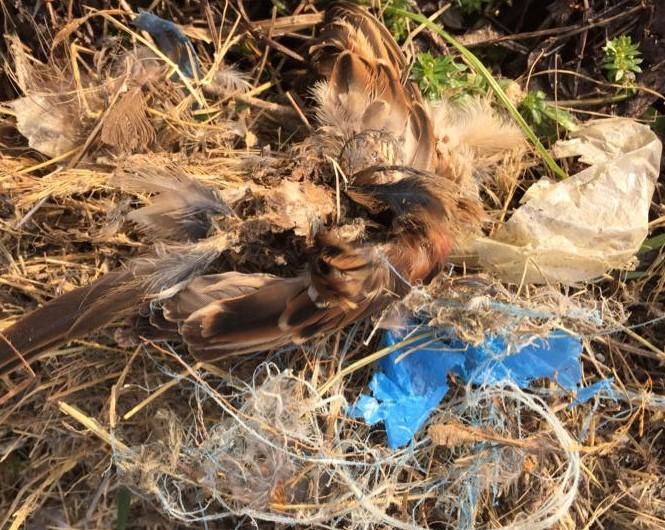 Qualvoll verendeter Felsperling in einem Nest voll mit Plastikabfall. Foto: NABU Büttelborn
