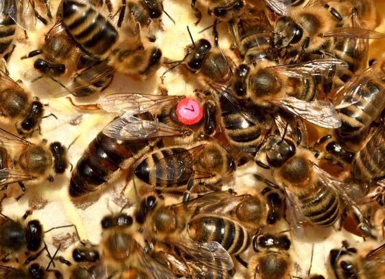 Bienenkönigin (Foto: pixabay)