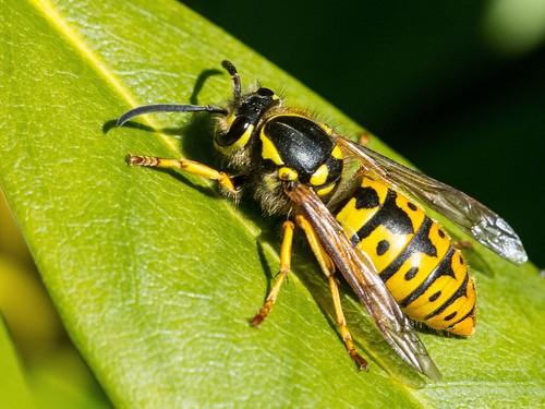 Deutsche Wespe (Foto: naturgucker.de [H. Glinkemann])