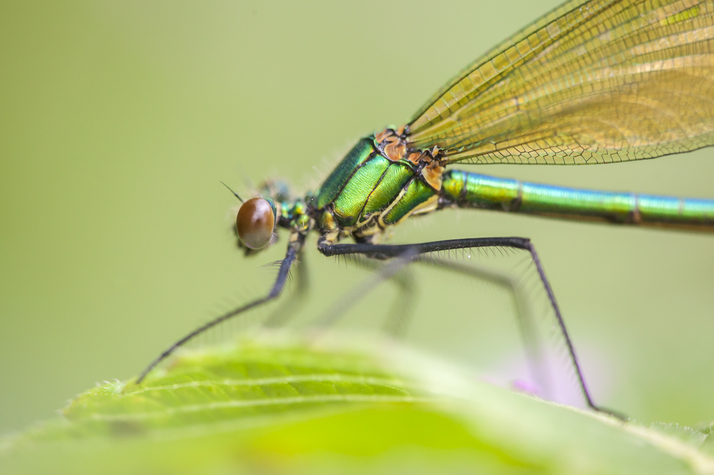 Juni 2019 - kleine Juwelen: Libellen.