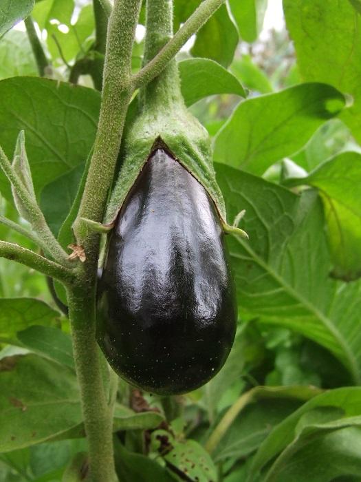 Une aubergine en croissance, on se voit dedans !  :-)