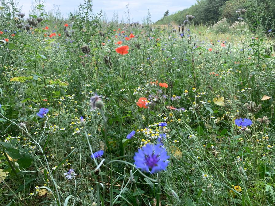 Feld mit Wildblumen bei Haus Ahse