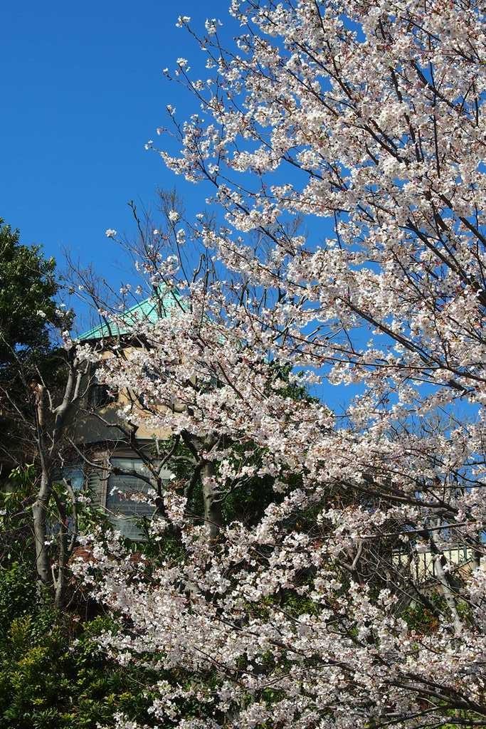 ビール坂の桜