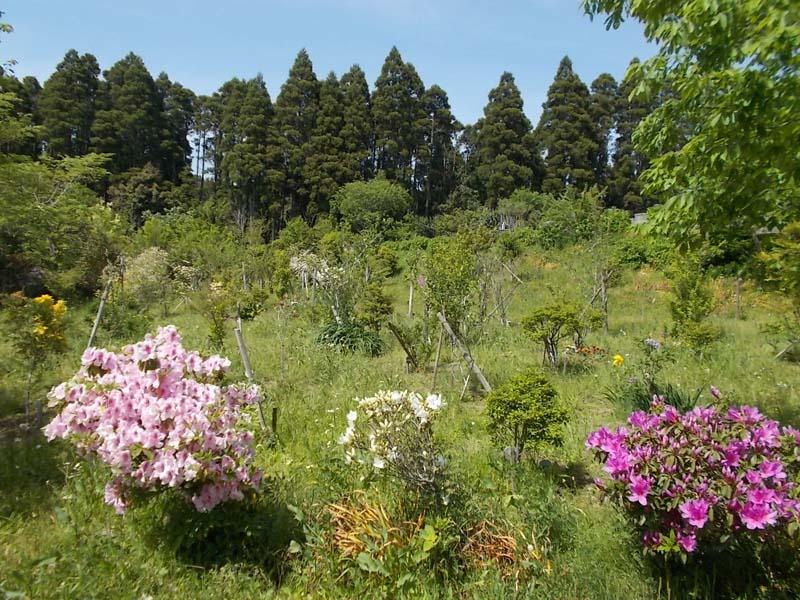 ツツジが咲く第一樹木葬地