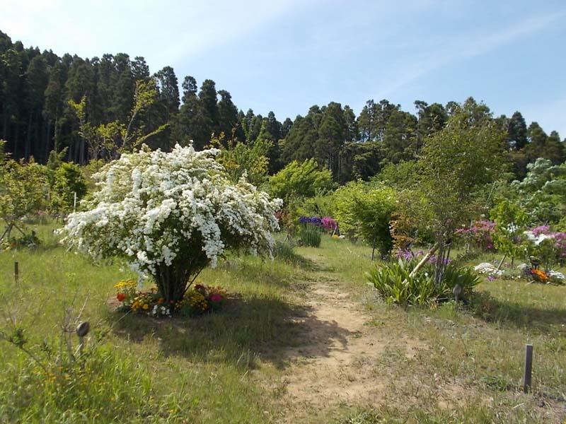 コデマリが咲く第三樹木葬地