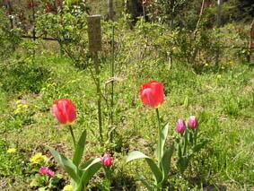 竹田様植えたチューリップが綺麗に花咲かせました。