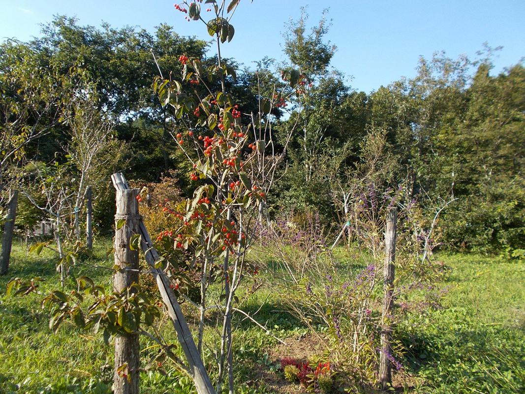 ガマズミの実とムラサキシキブの実が美しく実りました。第一樹木葬地