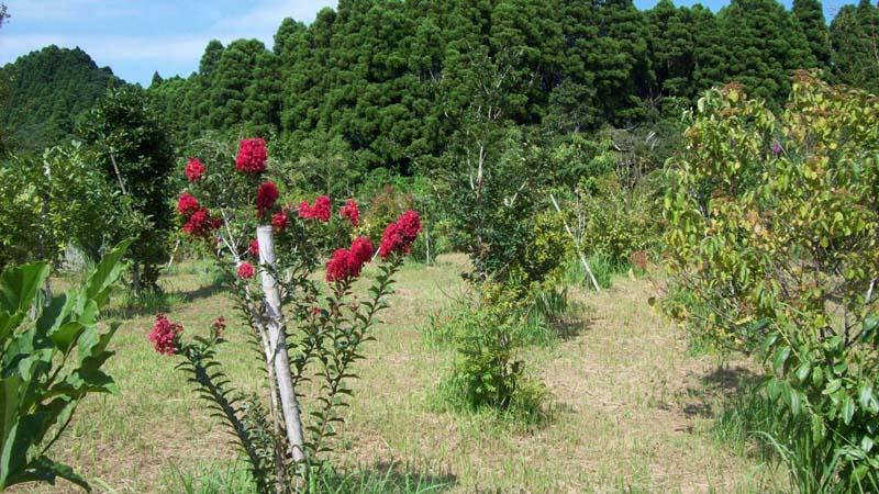 小さなサルスベリも見事に花を咲かせています。第三樹木葬地