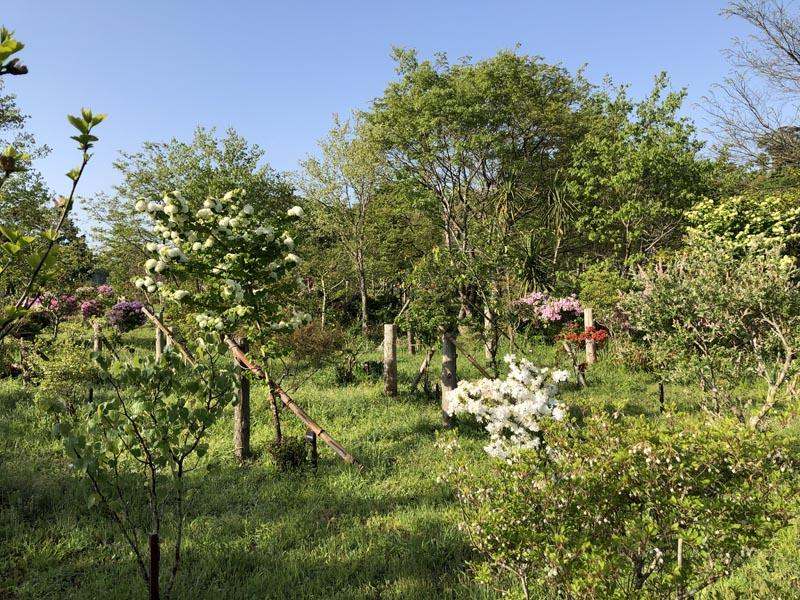 オオデマリやツツジが満開です。第一樹木葬地