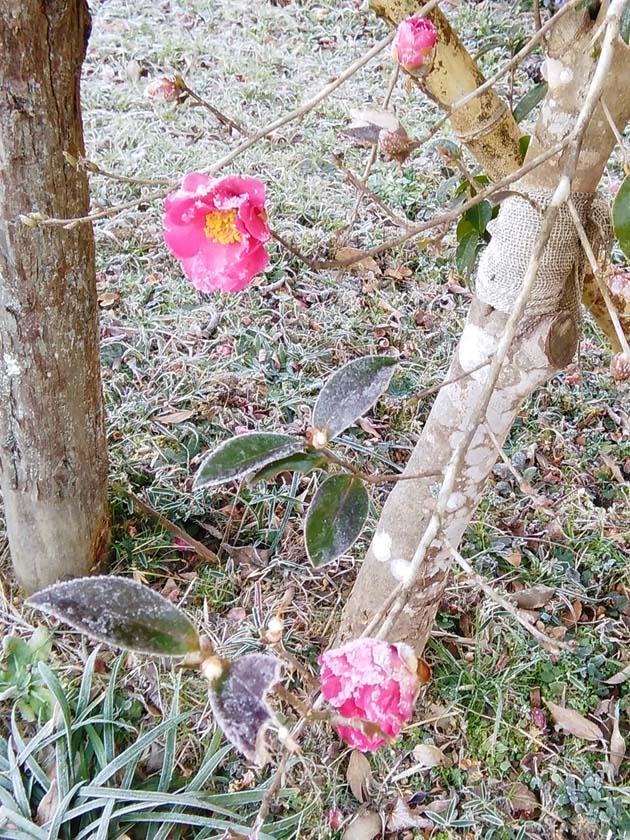つばきの花びらまで氷ついています。