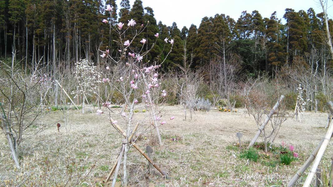 ヒメコブシが咲きました。第三樹木葬地