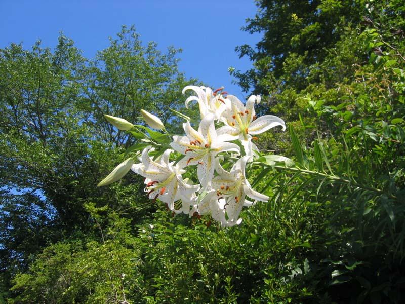 暑い季節になりました。山百合が咲き、参道を彩ってくれています。