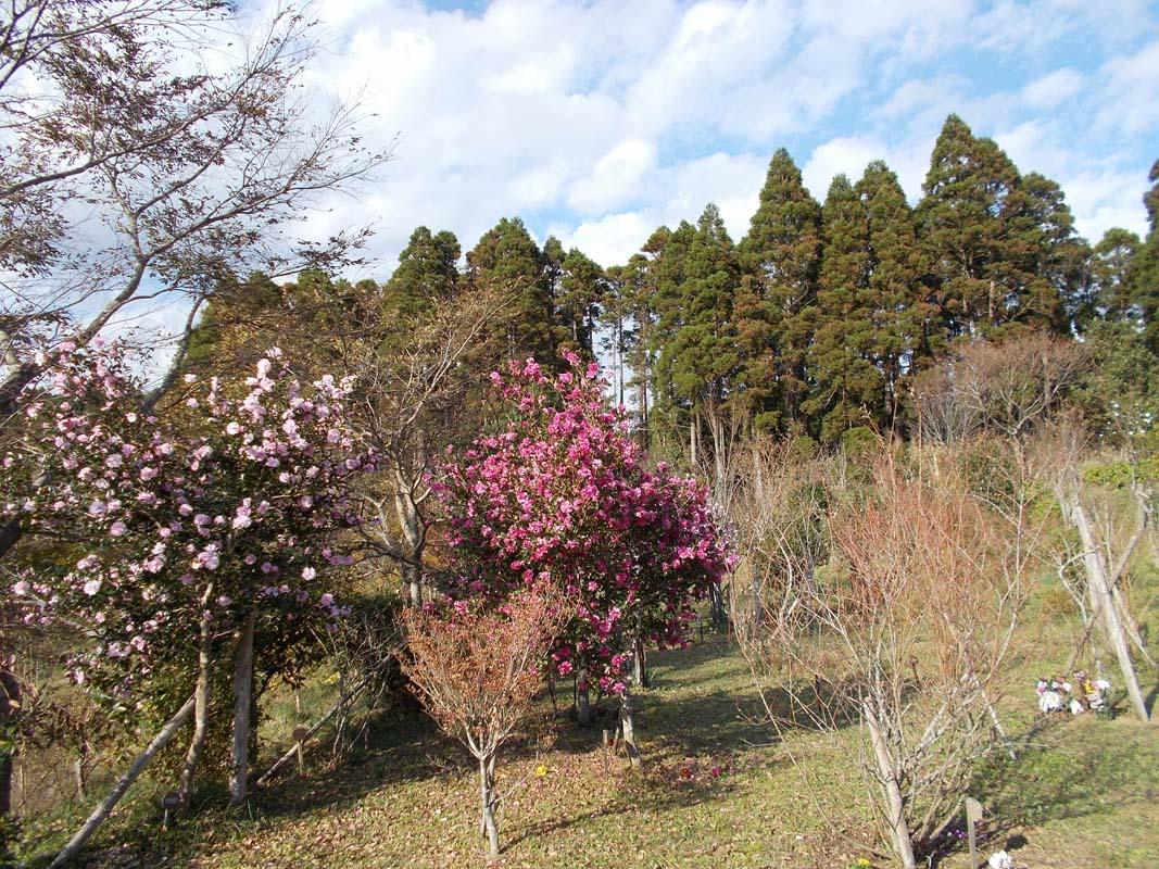 サザンカが綺麗に咲きました第一樹木葬地