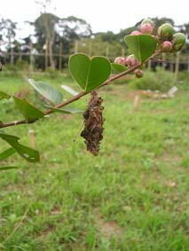 故、佐藤さんの木にみの虫が付きました