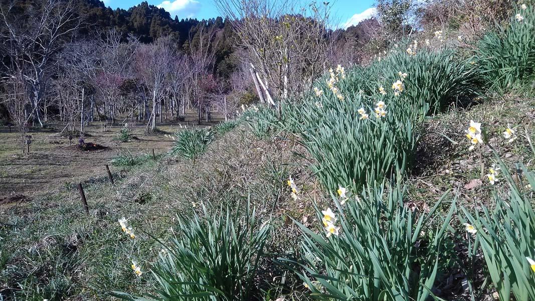 冬水仙香る第一樹木葬地