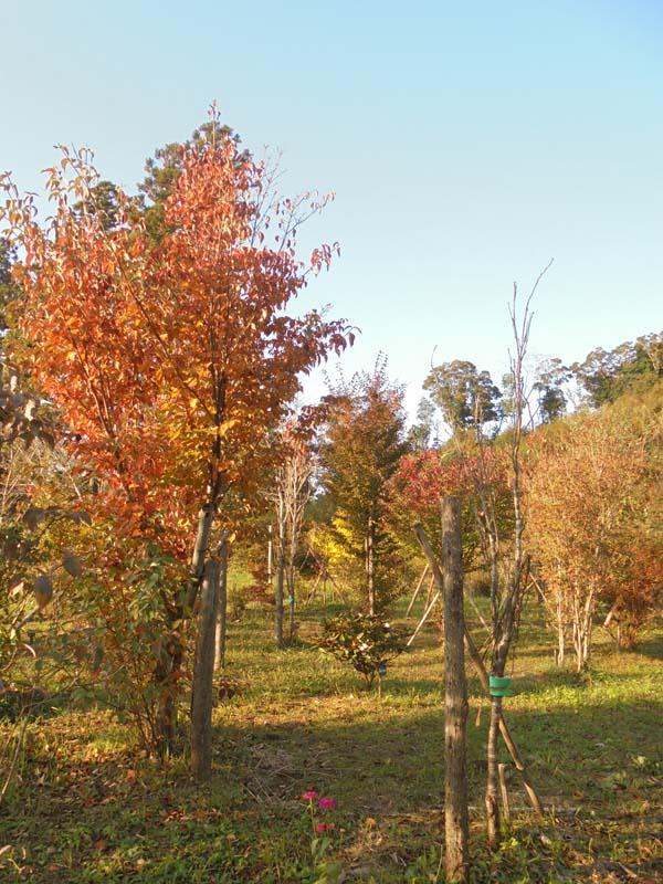 紅葉はこれから見頃です。第二樹木葬地