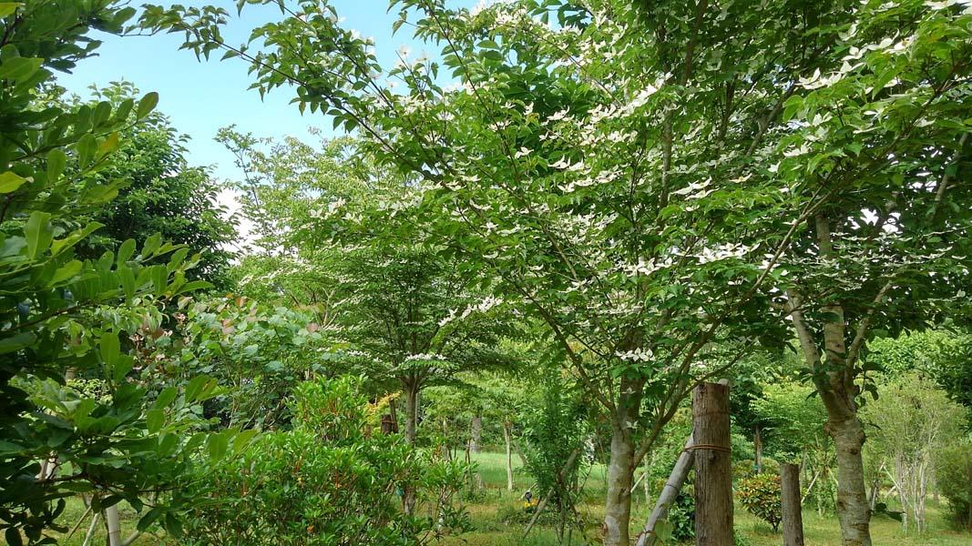 ヤマボウシの花が清々しい第二樹木葬地