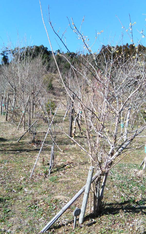 ろうばいが咲く第二樹木葬地