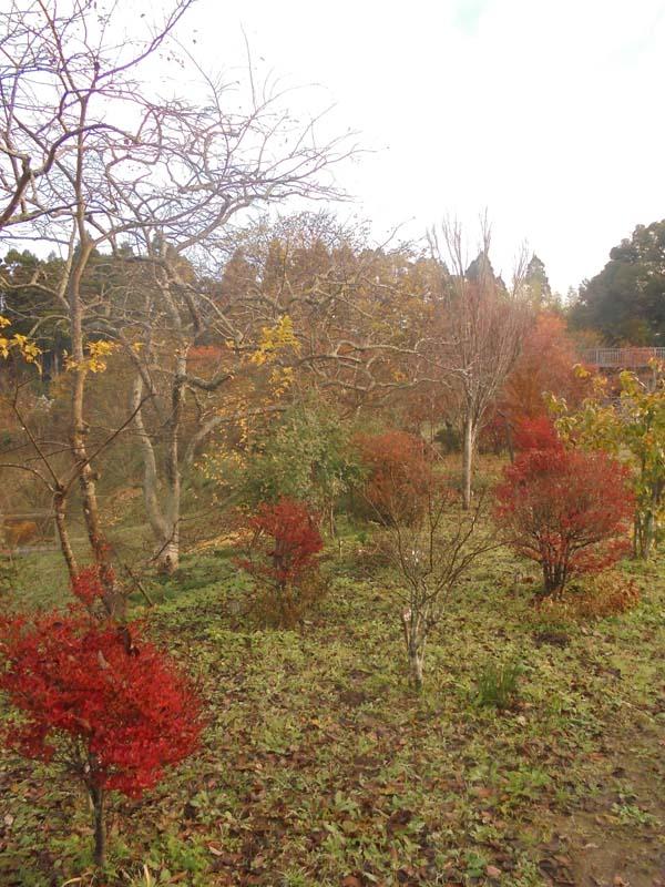ドウダンツツジの紅葉が綺麗です。第二樹木葬地