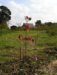 植えられたはなみずき。紅葉中。