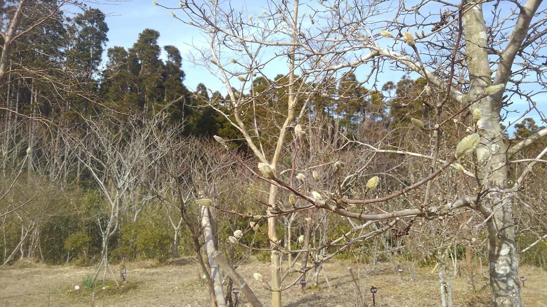 春を待つヒメコブシのつぼみ
