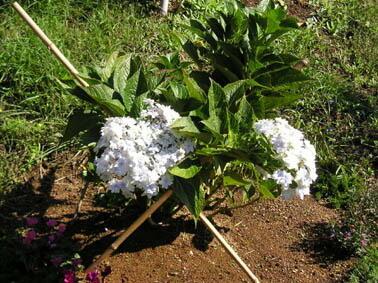 埼玉、Mさんのあじさい この時期に咲く品種でしょう