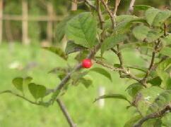 俵山さんの梅もどきの実が付きました