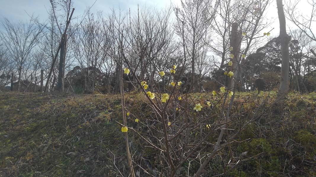 ロウバイが咲きはじめました。第二樹木葬地