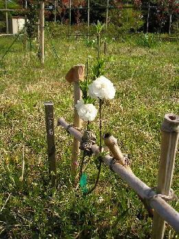 平野さんの花もも