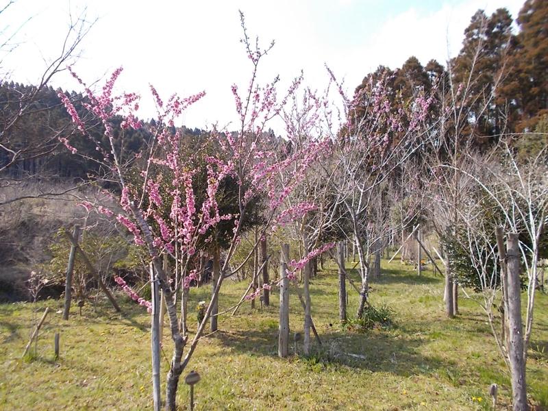ハナモモの咲く第一樹木葬地