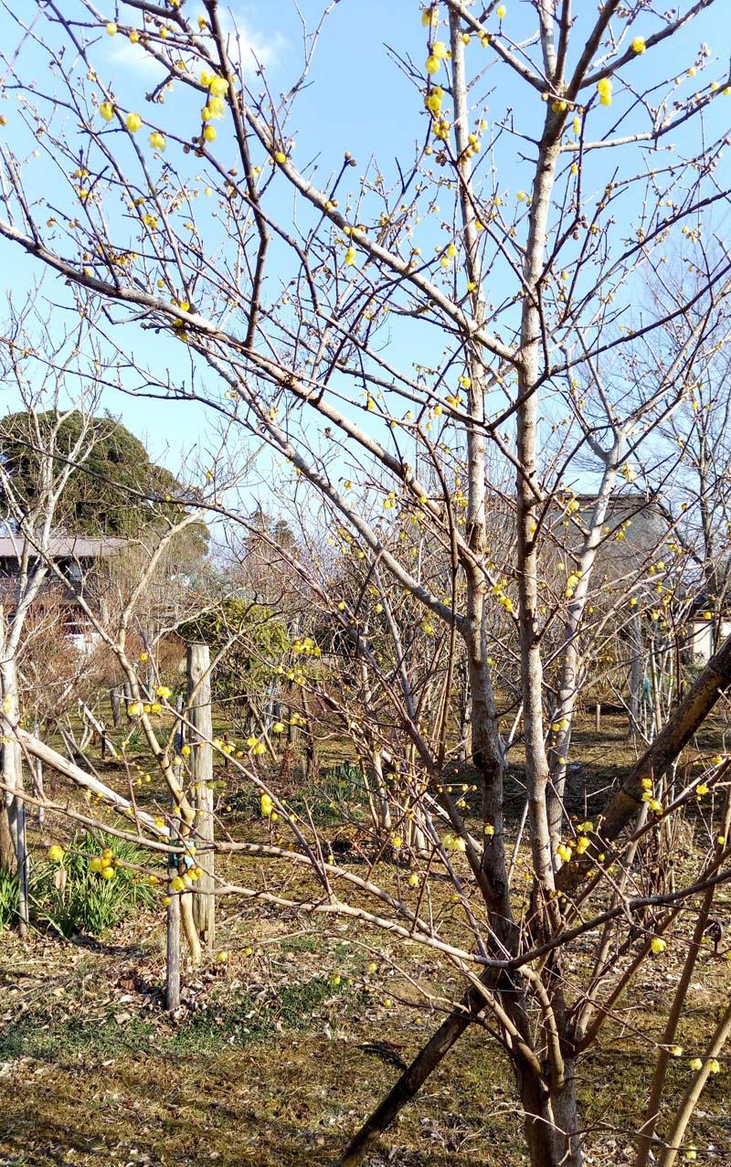 まだ寒い中咲く黄梅の花にほっと心和みます。第二樹木葬地