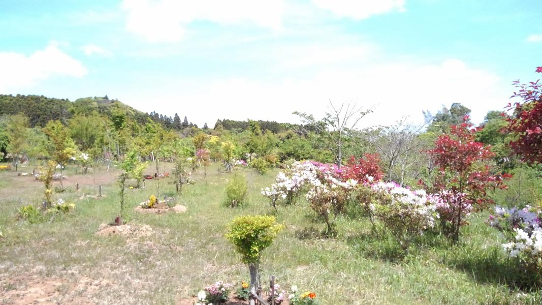 周りに植えたベニカナメモチの赤い新芽が映えます。第三樹木葬地