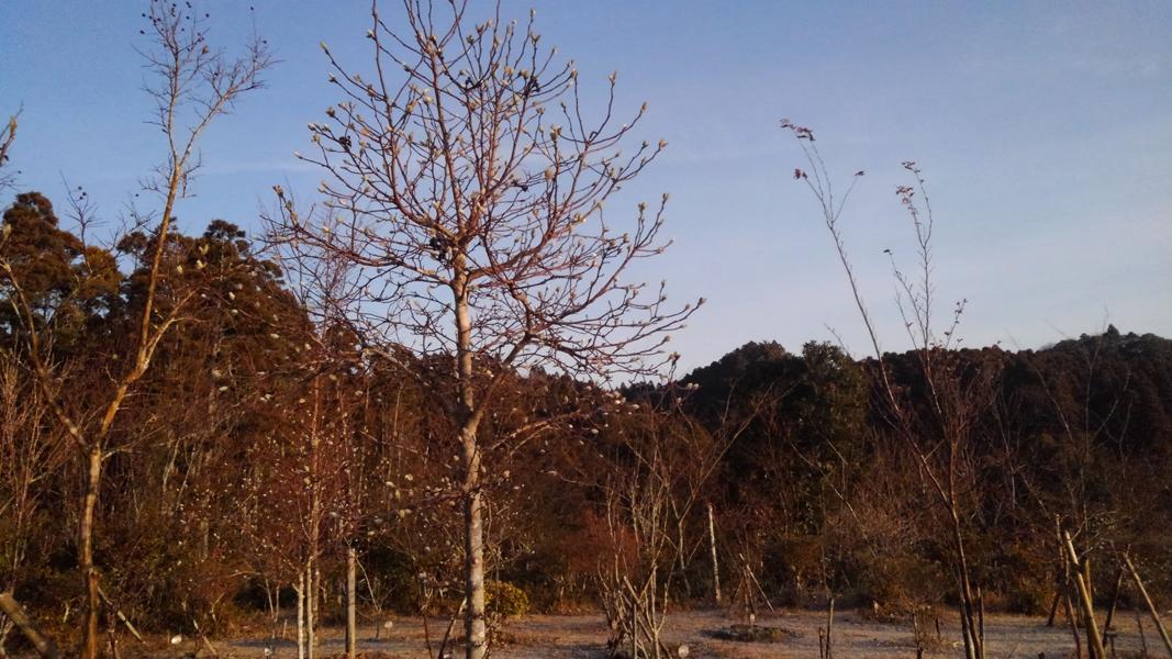 凍てつく寒さの中でもつぼみを膨らませます。第三樹木葬地